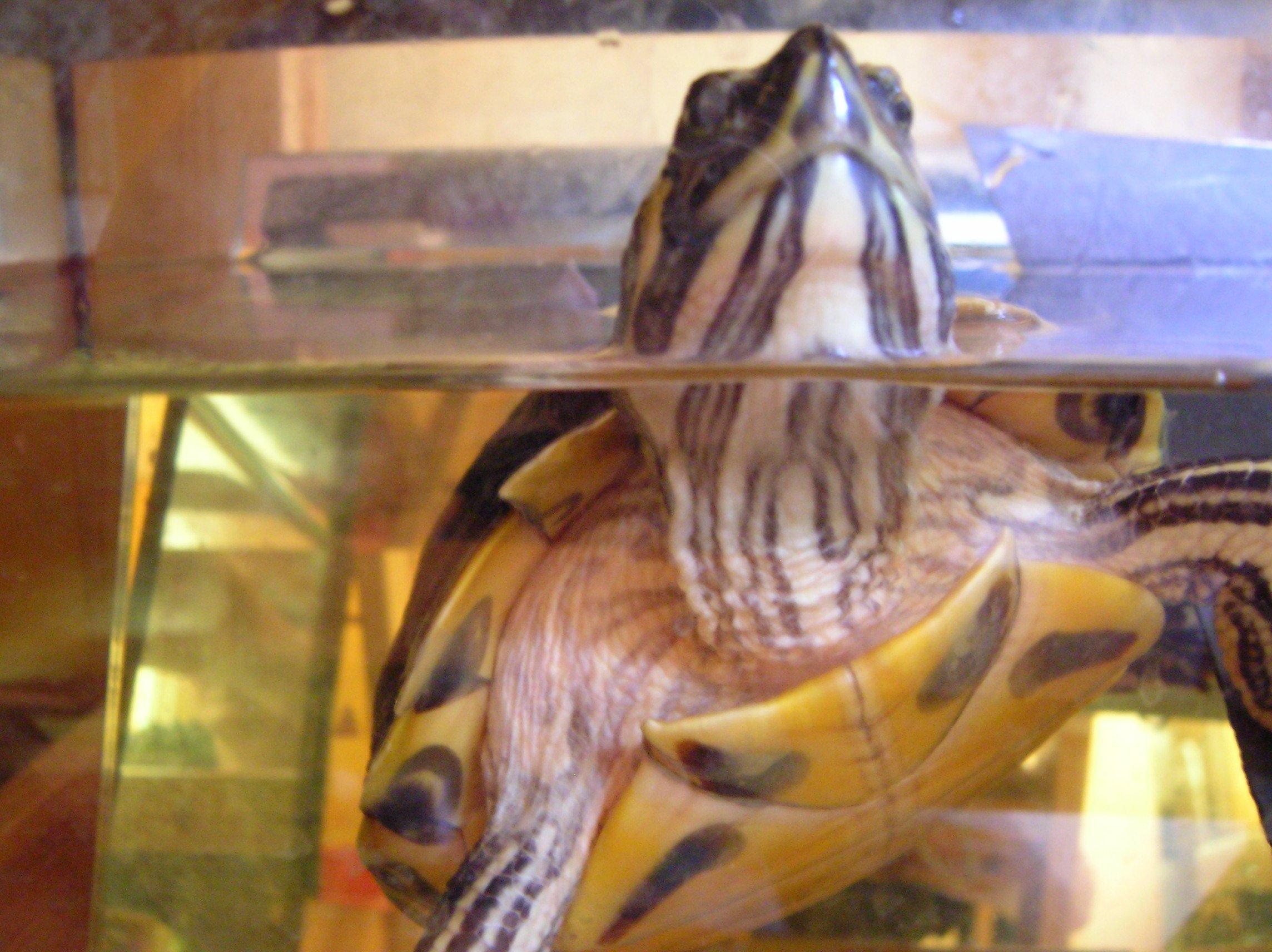 aquariums poissons et tortues d eau douce 187 les tortues d eau