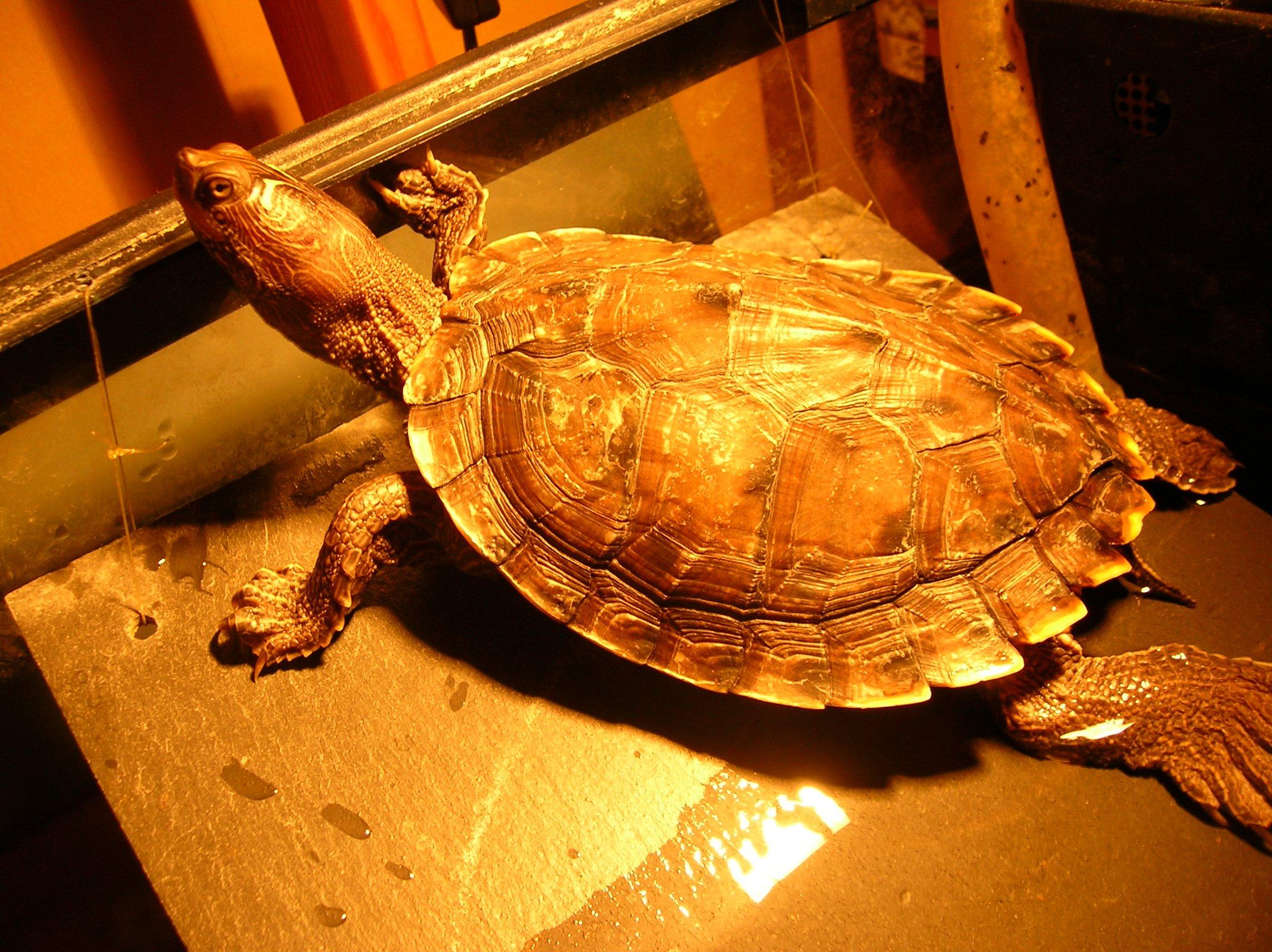 aquariums poissons et tortues d eau douce les tortues d eau. Black Bedroom Furniture Sets. Home Design Ideas